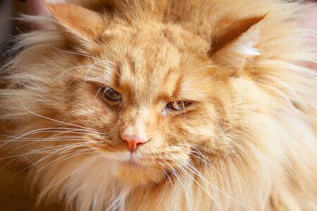 Portrait of sarcastic and funny ginger cat