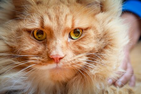 Portrait of a serious ginger cat with wide open eyes