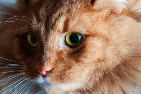 Light and shadow play on beautiful ginger cat with green eyes portrait - extreme closeup Stockfoto - 128283434