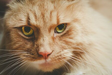 Beautiful portrait of a serious ginger cat with shallow focus