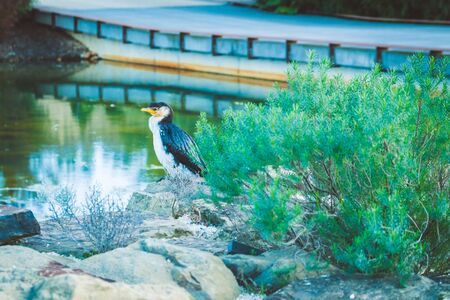 Little Pied Cormorant bird perching on rocks near pond