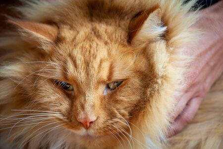 Closeup portrait of squinting beautiful ginger cat Stockfoto - 128283451