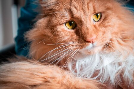 Ginger cat with yellow eyes extreme closeup portrait Stockfoto - 128283492