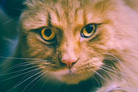 Ginger cat stares intensely into the camera - retro analog style