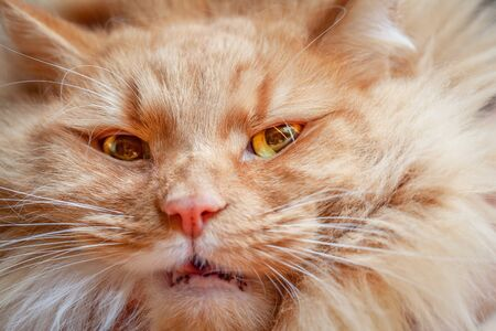 Extreme closeup of ginger cat face with yellow angry eyes Stockfoto
