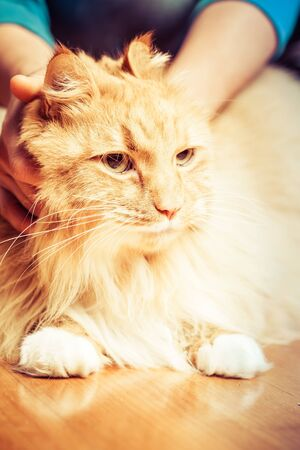 Person holding ginger cat on wooden floor Stockfoto