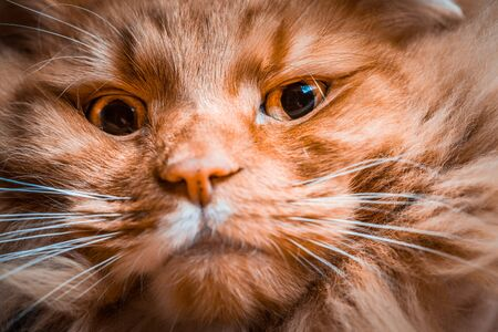 Scary extreme closeup of ginger cat face Stockfoto
