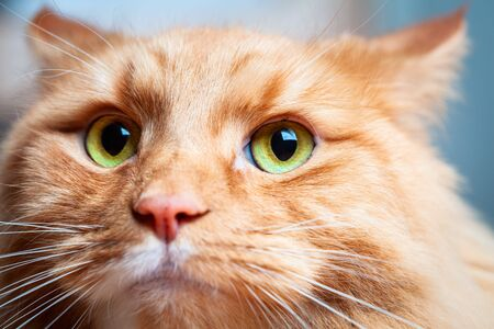 Ginger cat with beautiful green eyes - extreme closeup portrait