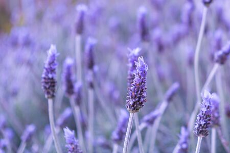 Purple lavender flower in the field with shallow focus Stockfoto