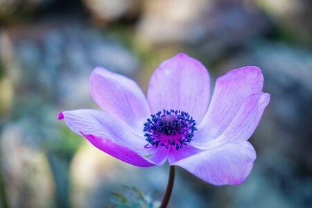 Purple Anemone flower closeup on blurred background