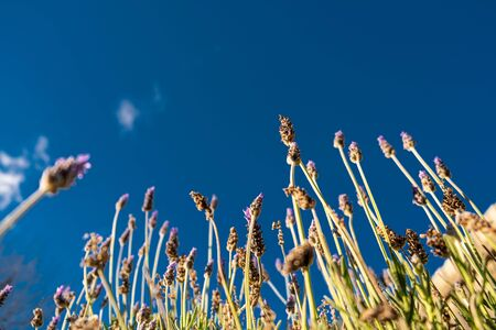 Looking up at lavender flowers pointing at the blue sky with copy space