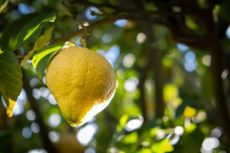 Triangular shaped lemon hanging on tree branch on blurred background with copy space
