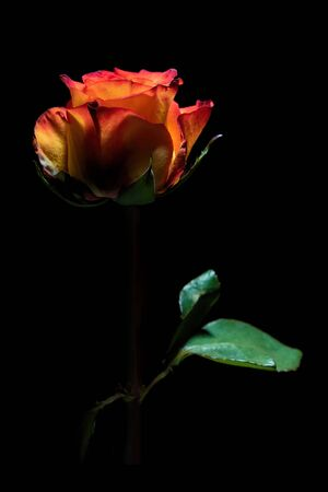 Beautiful glowing red rose on black background - vertical image