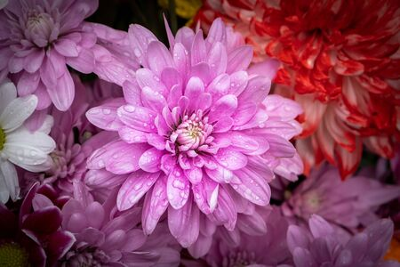 Purple chrysanthemum flower with water drops closeup on blurred background Stockfoto