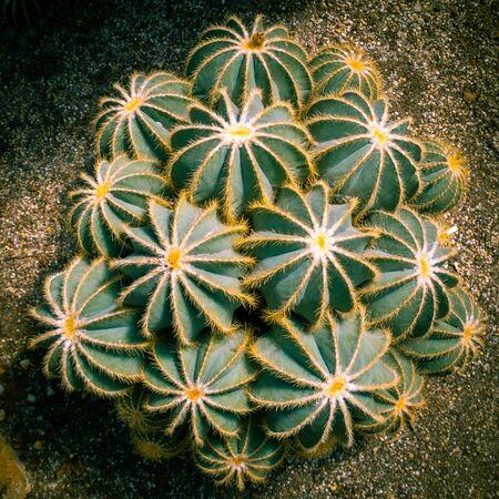 Desert hedgehog cactuses growing in a pile