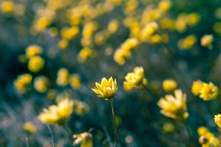 Yellow flowers in Australian Desert with shallow focus