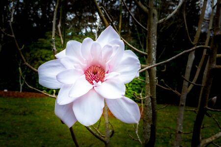 Blooming magnolia flower in the garden Stockfoto