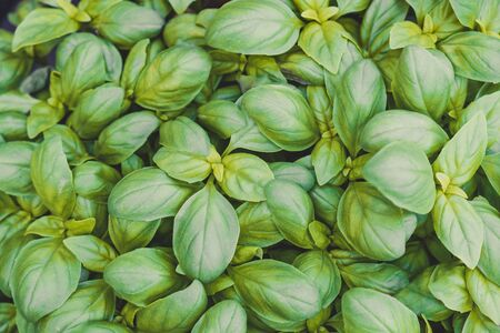 Growing sweet basil leaves background