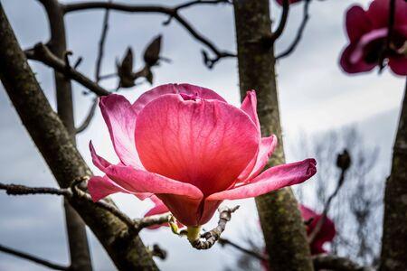 Large purple magnolia flower closeup