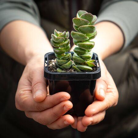 Female hands holding decorative succulent plant Stockfoto