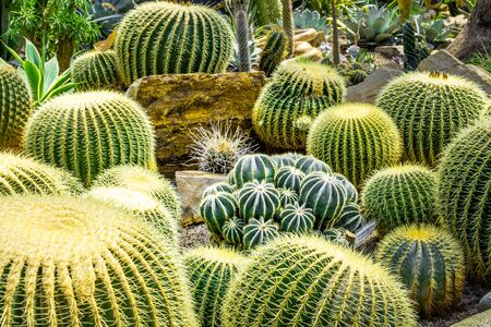 Desert Hedgehog cactuses large and small