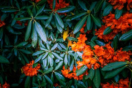 Rhododendron leafs and vivid flowers background