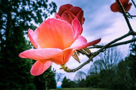Amazing huge magnolia flower on blurred background