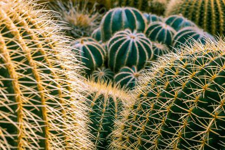 Desert Hedgehog cactus spikes extreme closeup with shallow focus