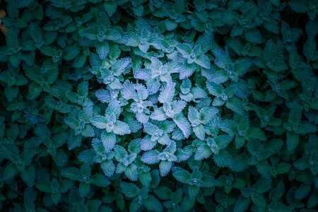 Mint plant leaves background with copy space Stockfoto