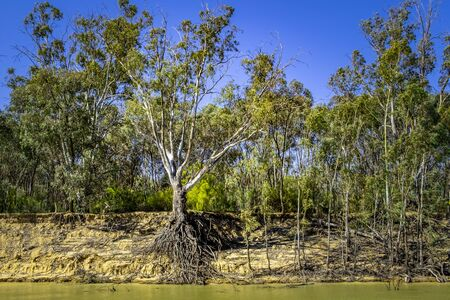 Intricate root system of a tree on Murray riverbank Stockfoto