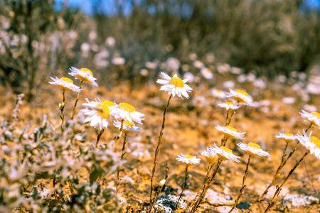 Small flowers in Australian desert