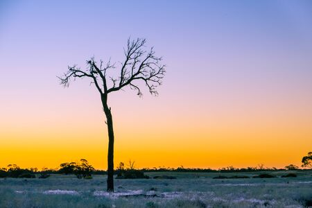 Bare tree silhouette closeup at golden sunset in Australian desert with copy space