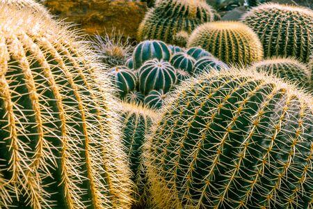 Beautiful arrangement of large cactuses - Desert Hedgehogs