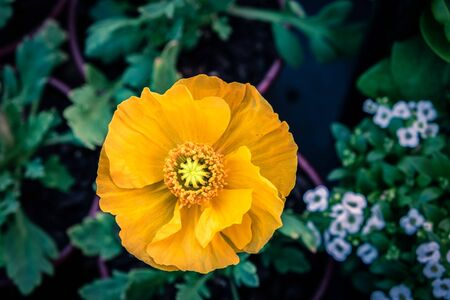 Yellow poppy flower top view with shallow focus