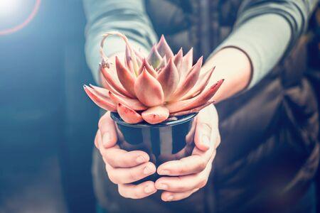 Woman holding echeveria taurus in a pot - beautiful decorative succulent plant