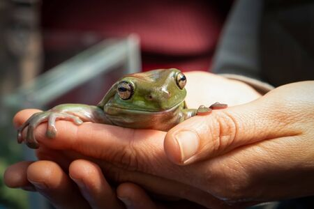 Smiling green tree frog sitting in female hands on blurred background
