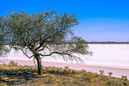 Desert tree on the shores of pink salt lake on bright sunny day