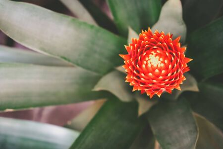 Blooming Bromeliad plant with shallow focus