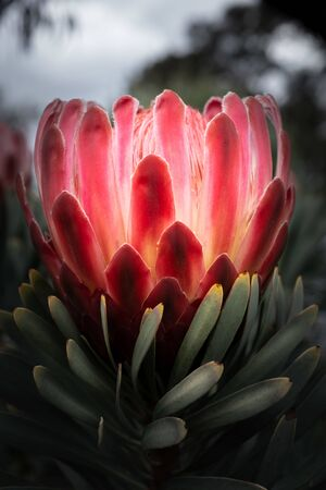 Protea flower on blurred background - vertical image