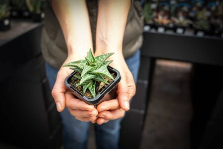Woman holding small decorative aloe vera plant in a pot Stok Fotoğraf