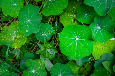 Beautiful large lotus leafs with water drops - top view