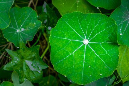 Water drop inside large lotus leaf - top view Фото со стока