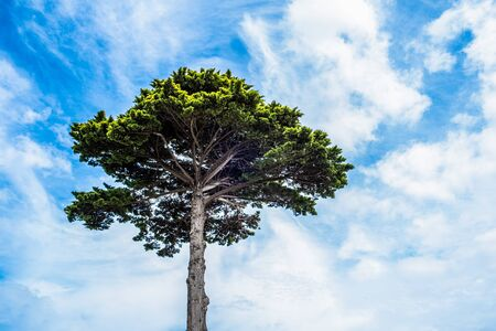 Looking up at the canopy of tall Lebanese Cedar tree against blue sky with white clouds Фото со стока