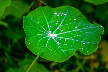Large lotus leaf with many water drops extreme closeup Фото со стока
