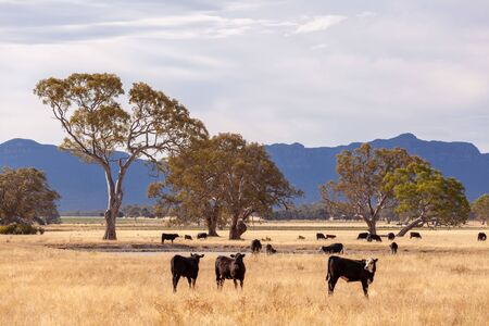 Black and brown cows grazing in yellow grass among eucalyptus trees in the Grampians region, Victoria, Australia