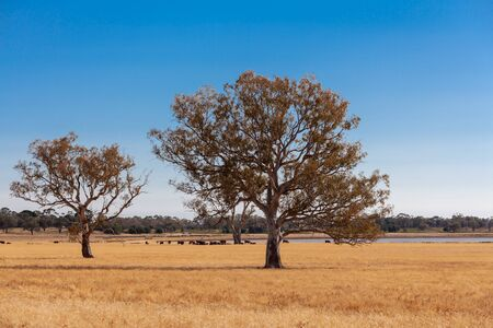 Yellow grass pastures with cattle and trees under blue sky in Victoria, Australia