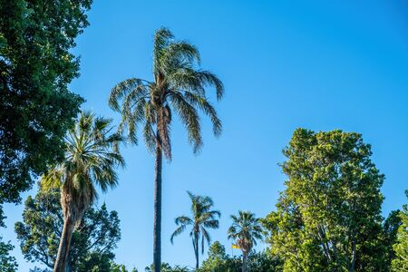 Looking up at palm trees and blue sky in bright daylight 版權商用圖片