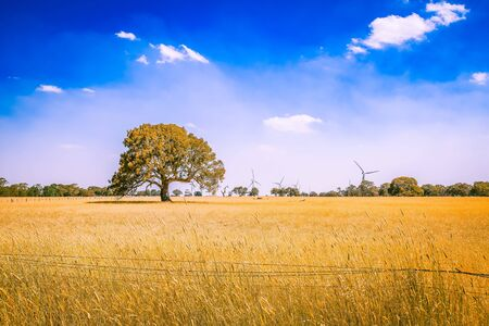 Australian outback landscape - yellow field with tree and wind turbines on the horizon under blue sky