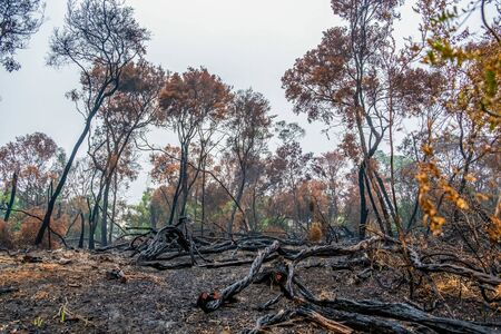 Burned trees after a bush fire in Australia