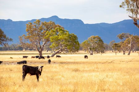 Black cow with white face standing in yellow grass with more cattle in the background - mountainous region of Grampians, Australia